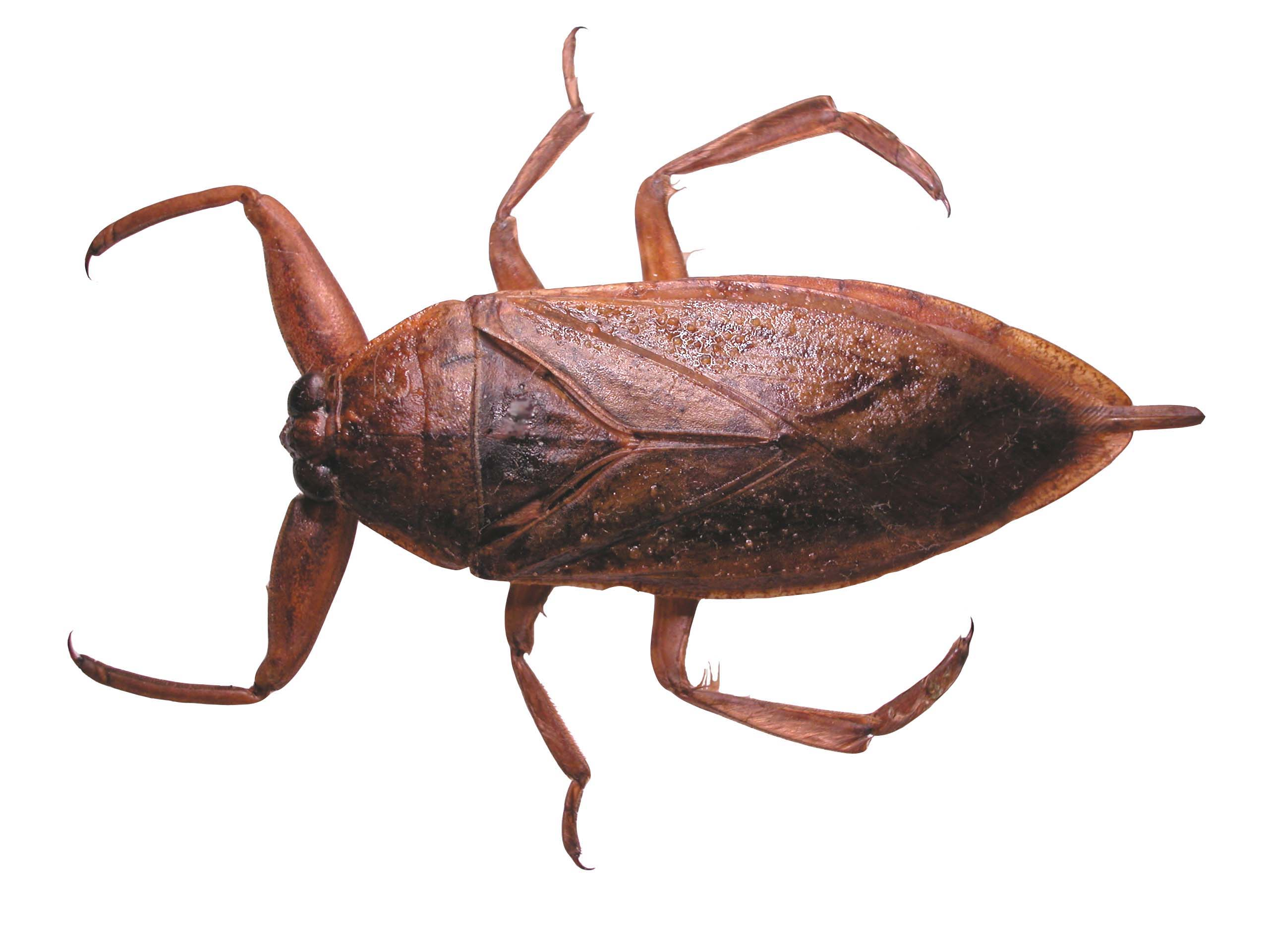 Source: Giant Water Bug by FreeLearning